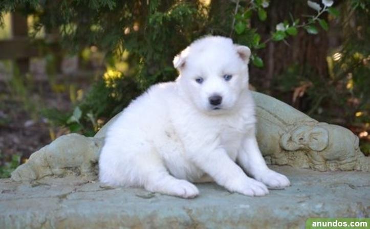 Regalo cachorros cachorros de husky siberiano jhh -