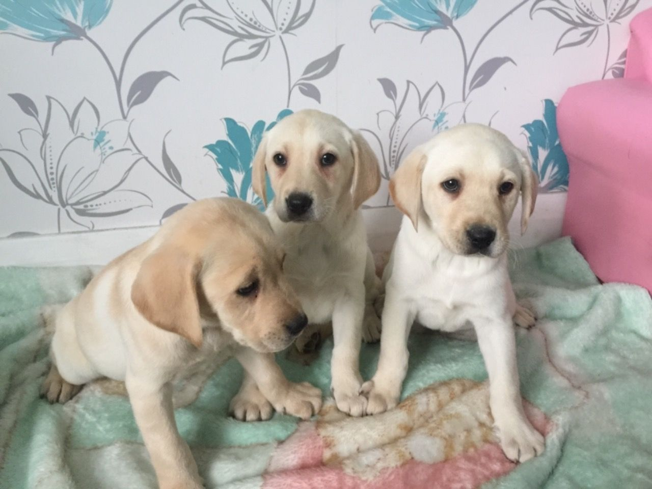 Labradoode Multi Gen Puppies