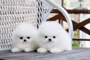 Puppies/Cachorros Pomeranias en Barcelona