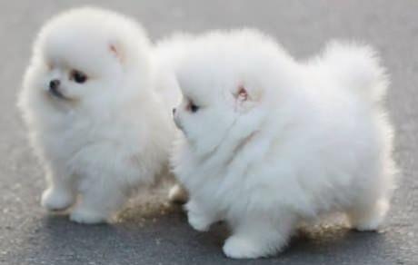 REGALO Pomeranian Mini Toy Para Adopción