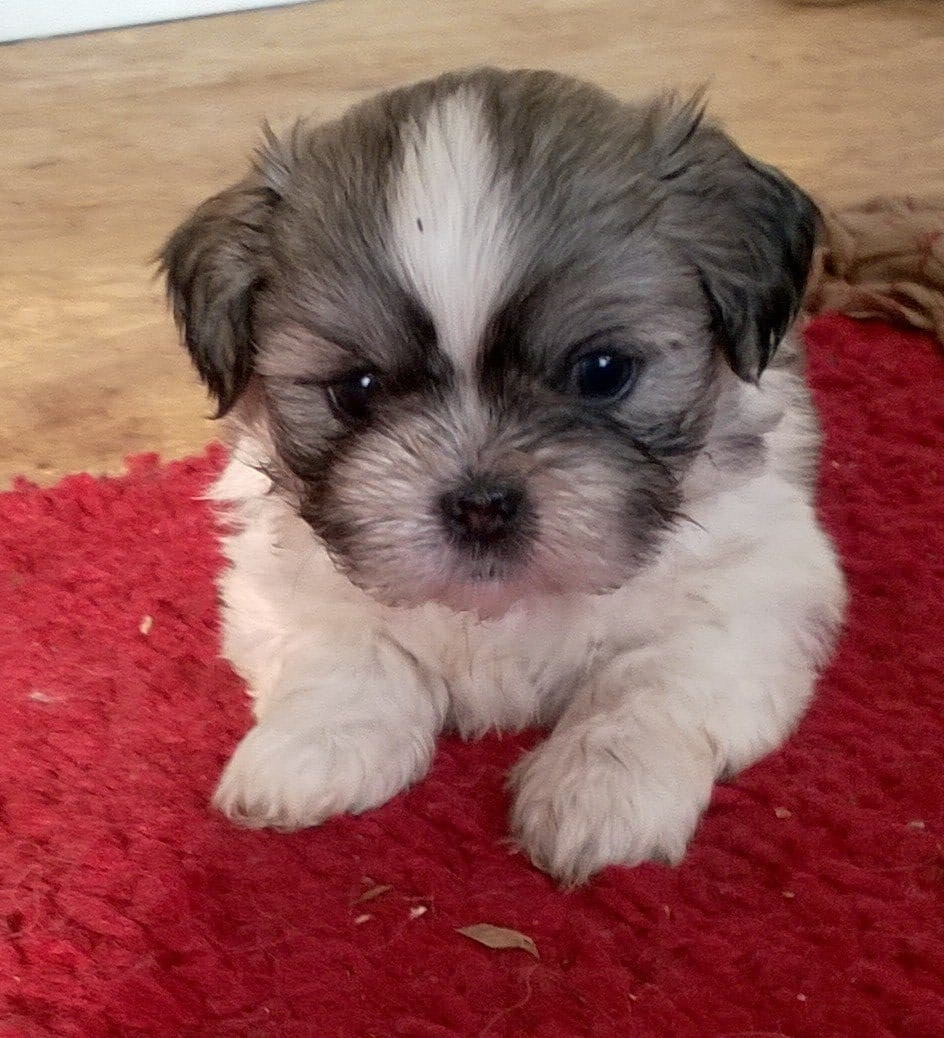 REGALO Shih tzu Mini Toy Para Adopción