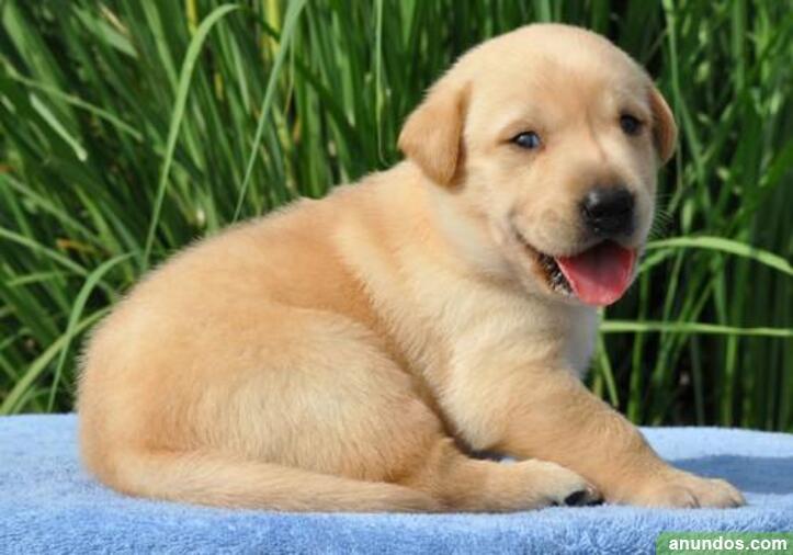 Adorables cachorros labradores listos para regalo y adopcion