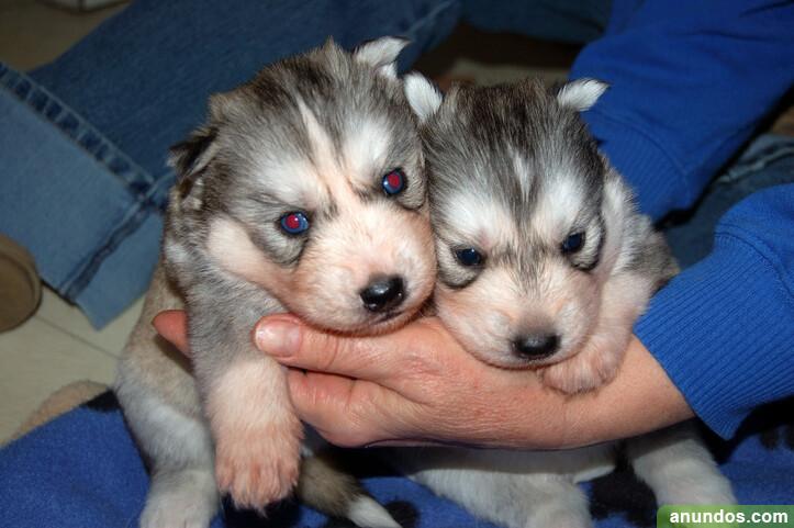 Cachorros de husky siberiano bien entrenados - Alconchel de