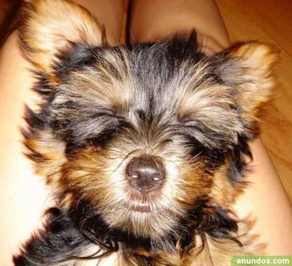 Gran oferta cachorros de yorkshire terrier, para adopcion -