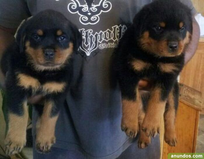 Hermosos cachorros de rottweiler chunky - Almendral de la