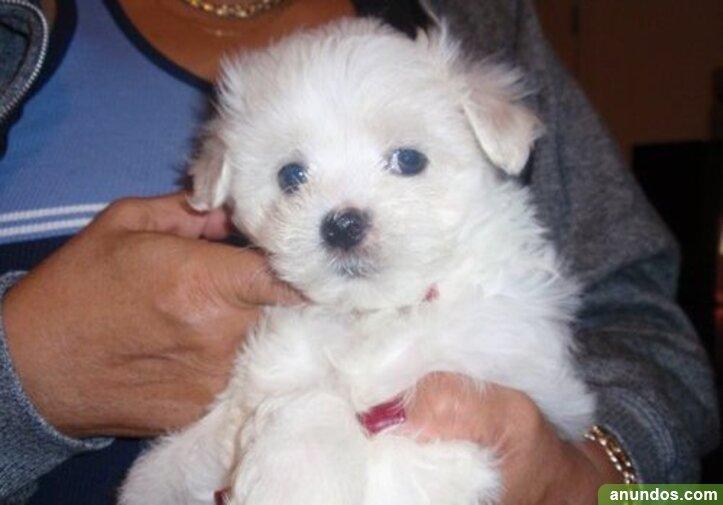 Magníficos cachorros malteses - Alfoz de Quintanadueñas