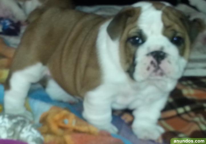 Maravilloso bulldog inglés en adopcion ggg - Montejaque