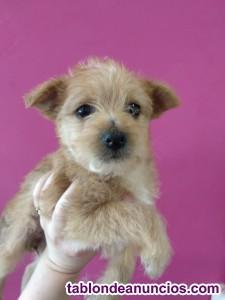 En adopcion mindy cachorriita cruce yorkshire