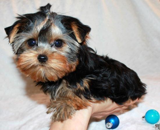Regalo cachorros yorkshire terrier para adopcion libre