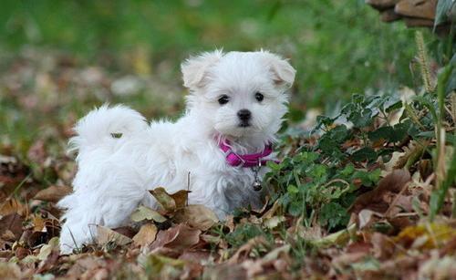 Bichon maltés Cachorros listos para un nuevo hogar ahora