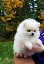 Bonito Pomeranian cachorros en adopcion