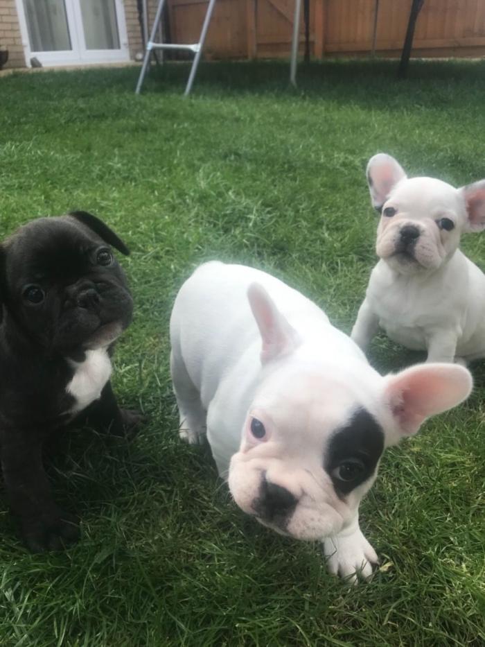 Cachorros de Bulldog Francés macho y hembra,
