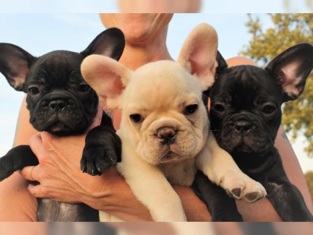 Estoy reubicando cachorros de pura raza Bulldog Francés.