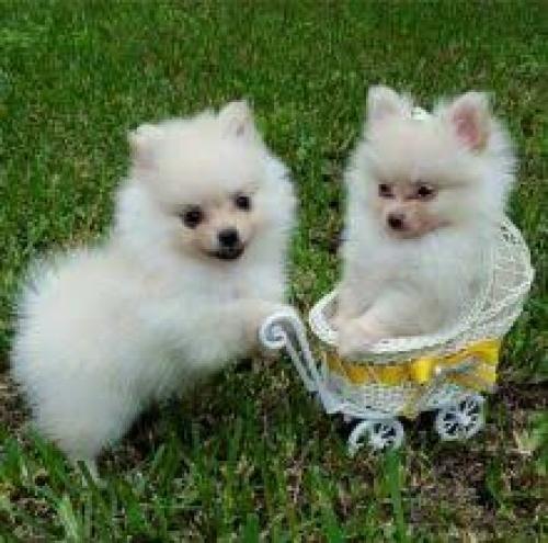 Pomerania mini toys masculino y femenino disponible.