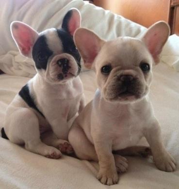Precioso cachorro de Bulldog Francés en venta bhnyj