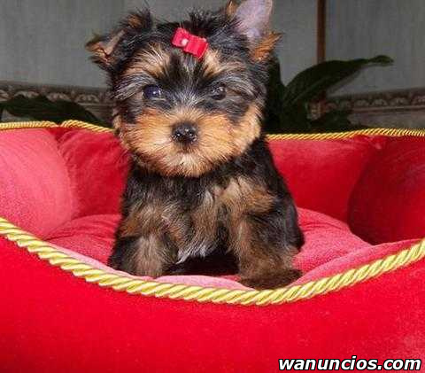 Regalo cachorros de yorkshire terrier. - Alicante