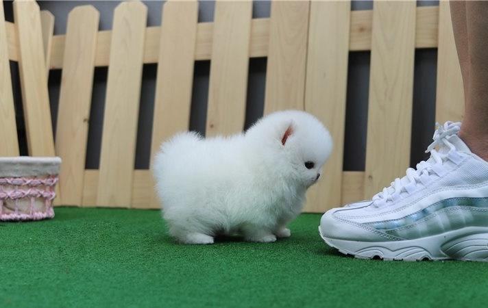 Regalos lulu increíble pomerania cachorros diminutos.