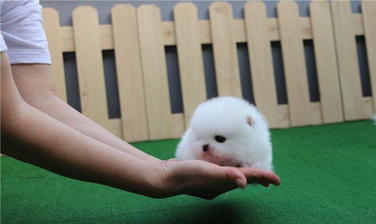 Regalos lulu increíble pomerania cachorros diminutos