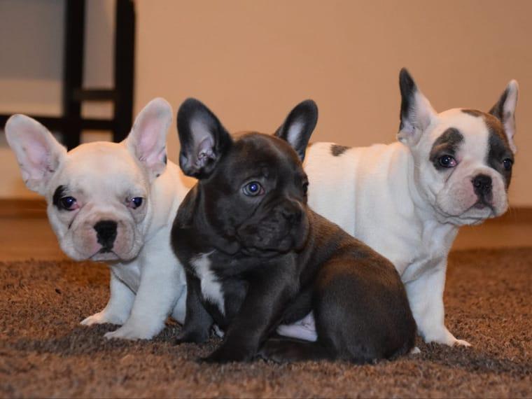 camada de cachorros de Bulldog Francés de AKC