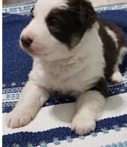Regalo Adorable Cachorros border collie