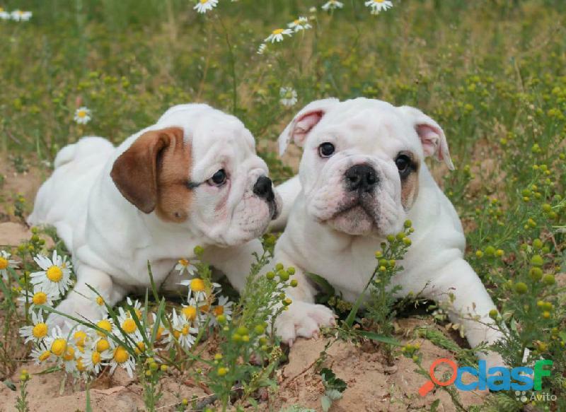 Preciosa camada de bulldog ingles.