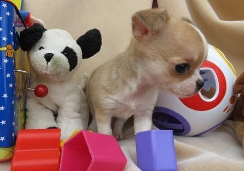 REGALO CACHORROS DI CHIHUAHUA MINI TOY PARA ADOPCION