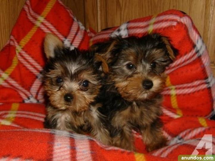 Cachorros de yorkshire terrier gratis - Ceuta Ciudad