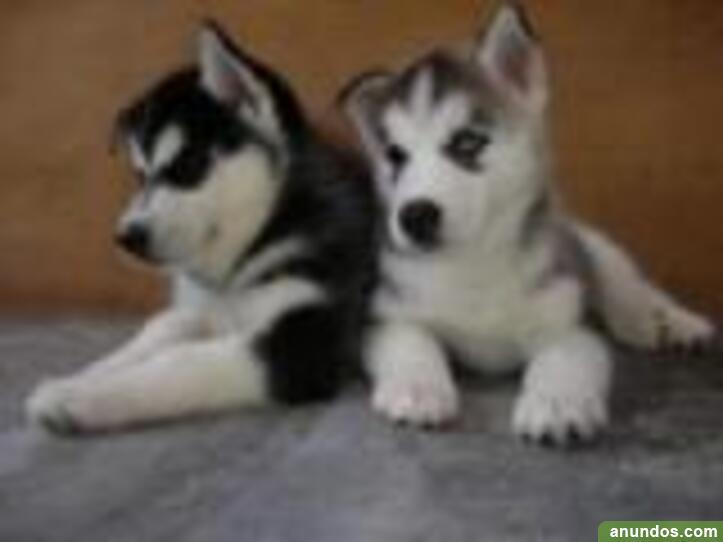 Cachorros siberian husky regalo masculino y femenino -