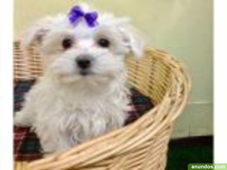 Regalo bichón maltés mini toy para adopción - Almadenejos