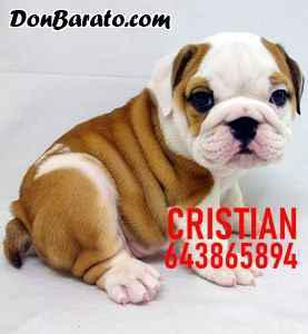 Cachorros bulldog ingles blanco y marron