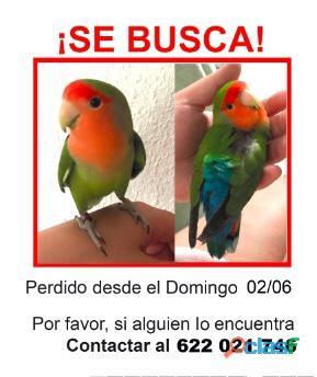 Pájaro perdido (Agapornis Roseicollis)