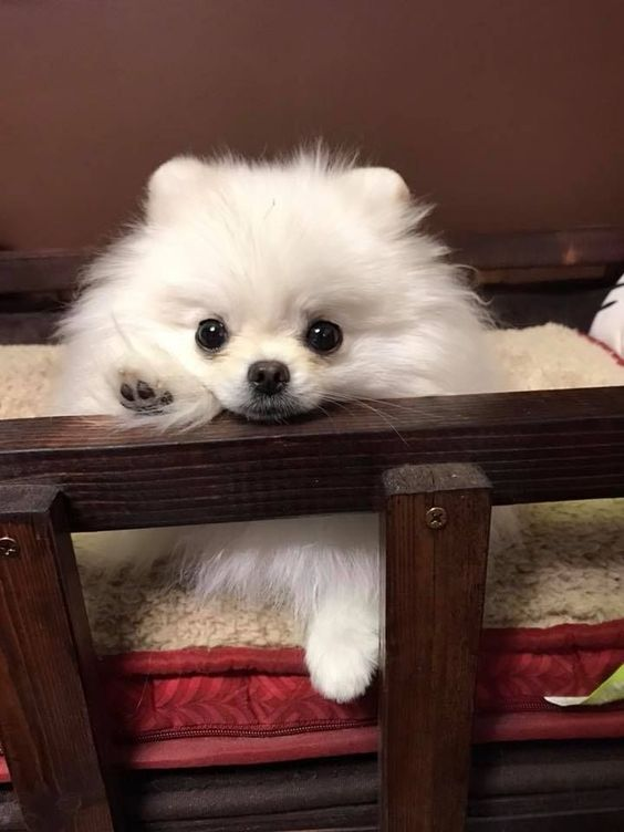 Cachorros de Pomerania listos para el nuevo hogar