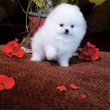 Cachorros de Pomerania para adopción