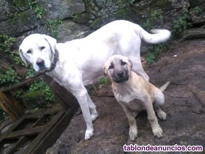 Cachorros mastín
