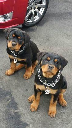 Cachorros rottweiler macho y hembra muy lindos.