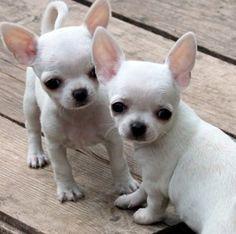 Hola, estoy redireccionando a un perro Chihuahua mini toy