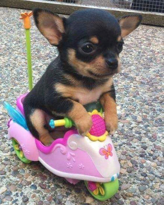 Lindo cervatillo y cachorros de Chihuahua