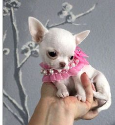 Pequeña Chihuahua mini toy