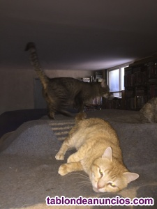 Se regalan dos gatos preciosos