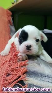Se vende precioso cachorrito bulldog frances blanco