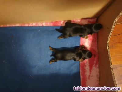 Vendo camada de yorkshire terrier