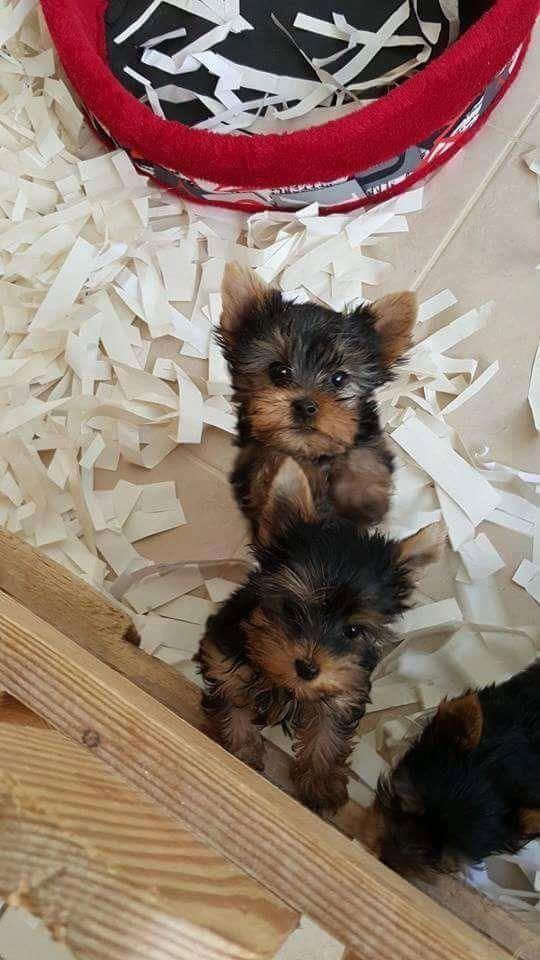 Yorkie cachorros registrados para la adopción