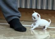 cachorros de Chihuahua mini toy macho