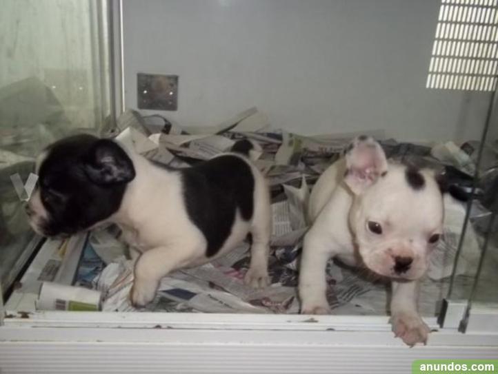 Cachorros de bulldog francés de muy buena - Algeciras