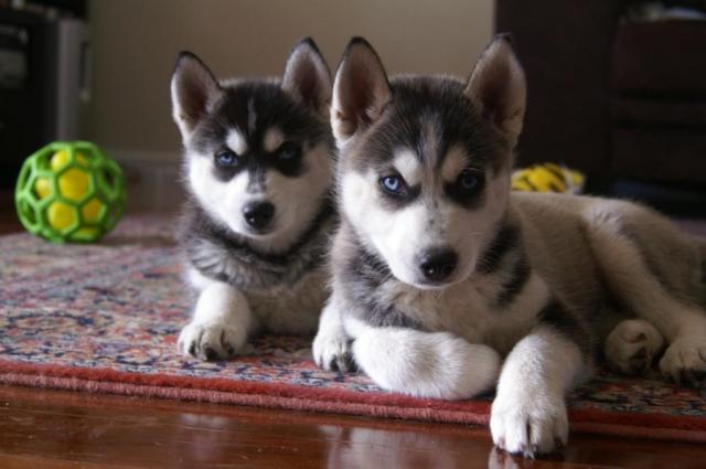 Cachorros de husky siberiano disponibles aho
