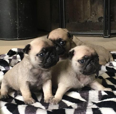 macho y hembra Carlino Pg cachorros