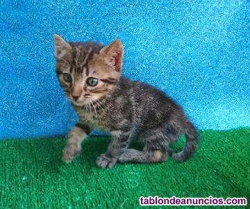 Gatitos de 1 mes y medio en adopción