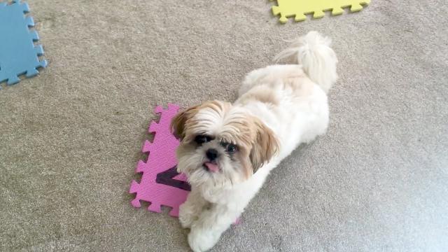 Regalo Adorable Cachorros Shih Tzu,todos los cachorros