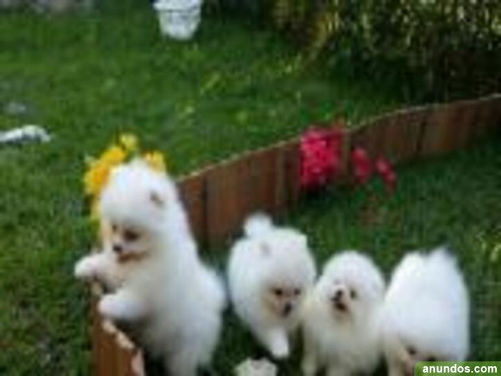 Adorables pedigree pomeranian puppies ready - Argençola