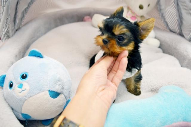 Regalo Yorkshire mini toy para Adopcion